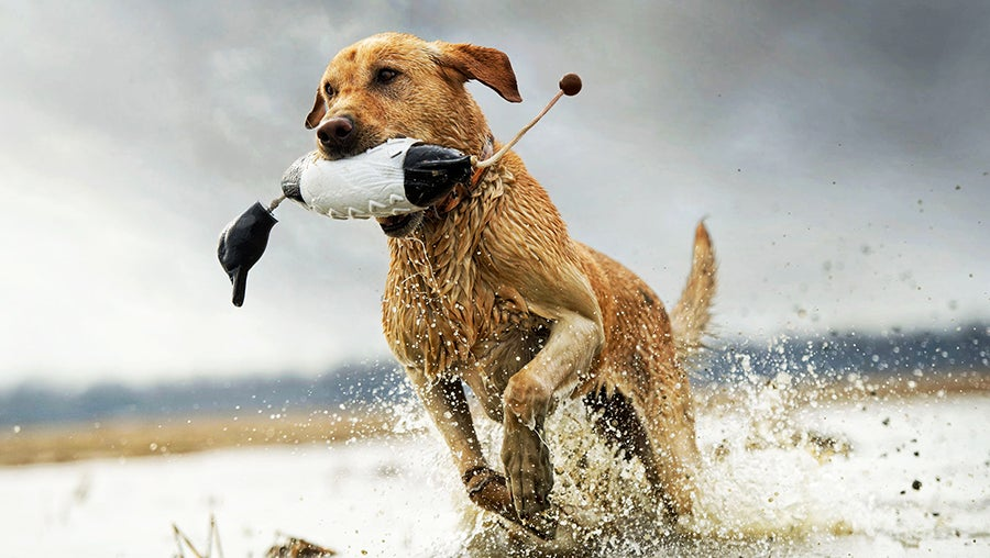 If the dog is out retrieving birds, leave it to the dog's owner to shoot any cripples, or ask before you shoot if you see a bird swimming away.