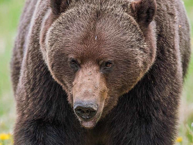 large male British Columbia grizzly bear