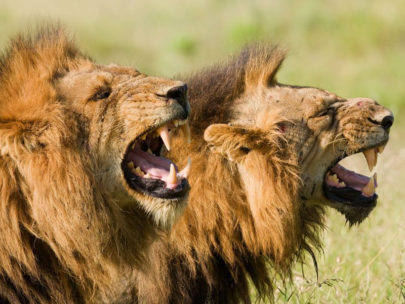 The real lions of Tsavo were two maneless males who were likely too injured to hunt their regular prey.