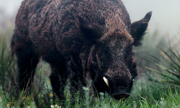 Seven Reasons Why Wild Hogs Make a Great First Hunt