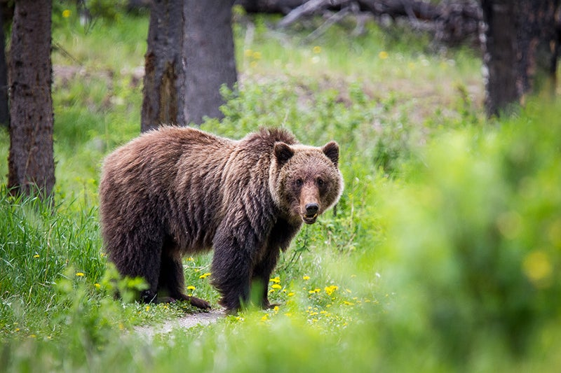 Fatal Bear Attack Victims Had Unloaded Pistol